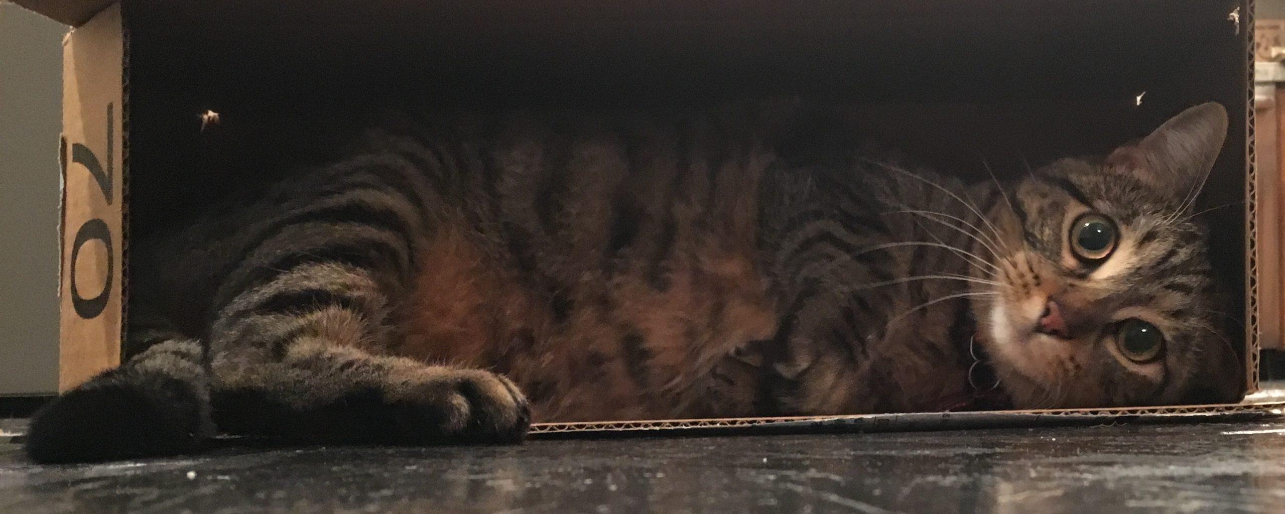 Mon chat Gigi qui aime les boites et les cartons